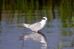 nieletni forster tern s Obraz Royalty Free