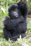 Nieletni goryl zdjęcie royalty free