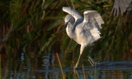 nieletni heron mały niebieski obrazy royalty free