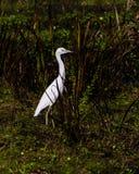 nieletni heron mały niebieski Obraz Royalty Free