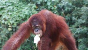 Nieletni i młody orang utan w Krajowym zoo Malezja zdjęcie stock