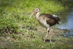 Nieletni ibis chodzi na trawie Obraz Royalty Free