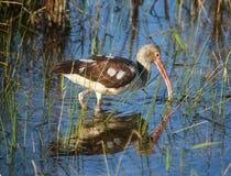 nieletni ibisa biel Obrazy Stock