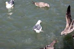 Nieletni Kalifornia frajer wzdłuż San Fransisco zatoki, Kalifornia, Larus californicus Zdjęcie Stock