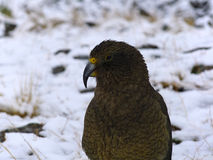 Nieletni Kea (Nestor notabilis) Fotografia Stock