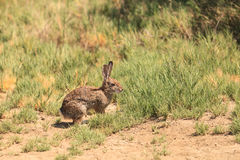 Nieletni królik, Sylvilagus bachmani, dziki szczotkarski królik Zdjęcie Stock