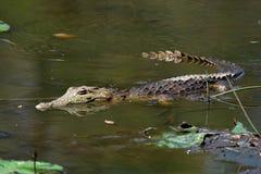 nieletni krokodyli Fotografia Royalty Free