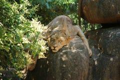 Nieletni męski lew Zdjęcie Stock