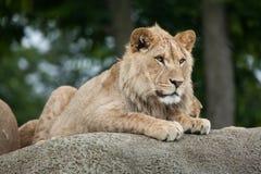 Nieletni męski lew & x28; Panthera leo& x29; Zdjęcia Royalty Free