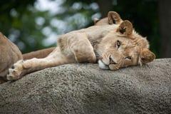 Nieletni męski lew & x28; Panthera leo& x29; Zdjęcie Royalty Free