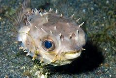 nieletni najeżkokształtna ryb Zdjęcie Royalty Free