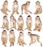 Nieletni Ogoniasty makak, Macaca nemestrina na bielu, obrazy royalty free