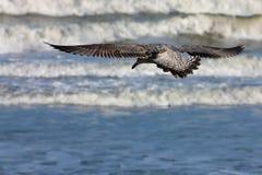 nieletni seagull Fotografia Royalty Free