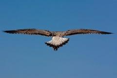 nieletni seagull Obraz Royalty Free