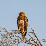 nieletni orła tawny Zdjęcie Stock