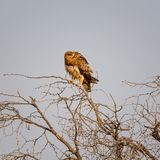 nieletni orła tawny Obrazy Stock