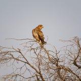 nieletni orła tawny Fotografia Stock