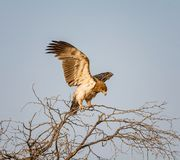 nieletni orła tawny Obraz Royalty Free