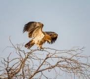 nieletni orła tawny Zdjęcia Stock