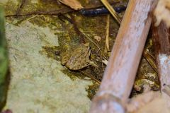 Nieletnia Śródziemnomorska Malująca żaba, Discoglossus pictus zdjęcie stock
