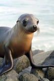 nieletnia foka Zdjęcie Stock