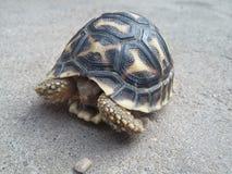 Nieletnia indianin gwiazdy tortoise kryjówki inside skorupa Fotografia Stock