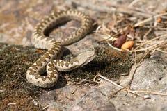 Nieletnia piasek żmija w sito Fotografia Stock