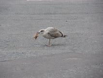 Nieletnia seagull łasowania rozgwiazda Obrazy Royalty Free
