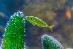 Nieletnia srebna ryba z błyszczącymi skalami odbija różnorodnych kolory, Europejski koń - makrela, portret młoda ryba fotografia stock