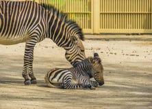 Nieletnich hartmanns halna zebra wraz z zwierz?cym specie od Angola i Namibia w Afryka sw?j macierzystym, Podatnym, zdjęcia stock