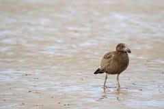 Nieletniego Pacyficznego frajera ptasi odprowadzenie na niskiego przypływu seashore patrzeć Fotografia Royalty Free