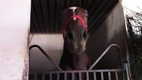 Niemądrego młodego thoroughbred biegowy koń w stajnia kramu zdjęcie wideo