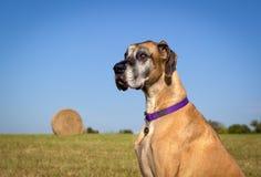 Niemądry Great Dane obsiadanie w polu z siano belą Zdjęcie Royalty Free