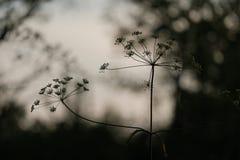 Niema koloru kwiatu sylwetka w wieczór świetle Obrazy Stock