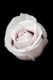 Niema menchii róża Fotografia Stock