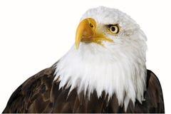 Niemcy, Hellenthal, Łysy Eagle, zakończenie obrazy stock