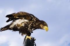 Niemcy, Hellenthal, Łysy Eagle, zakończenie fotografia royalty free