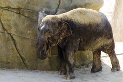 Niemcy, Köln, azjata Elefant w zoo Obrazy Stock