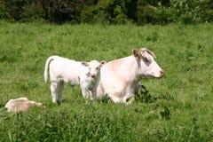 niemcy krowy Obrazy Royalty Free