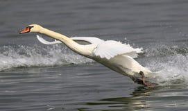 Niemego łabędź lądowanie Fotografia Stock