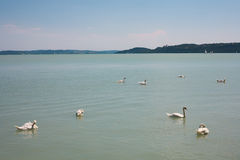Niemi łabędź na Jeziornym Balaton przy Balatonfured Zdjęcie Stock