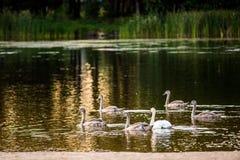 Niemi łabędź w jeziorze zdjęcie royalty free