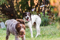Niemieccy pointerów psy zdjęcia stock