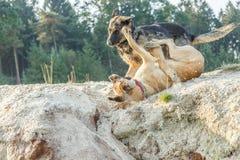 Niemiecka baca i bękarcia Belgijska Pasterska sztuka szorstka gra w piasku Zdjęcie Royalty Free