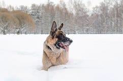Niemiecka baca Młodzi energiczni psów spacery zdjęcia royalty free