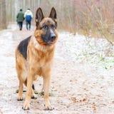 niemiecka baca Młody energiczny pies chodzi w lesie zdjęcia royalty free
