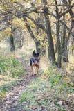 Niemiecka baca w malowniczej lasowej haliźnie zdjęcie stock