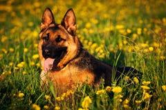 Pies - Niemiecka baca Zdjęcia Royalty Free