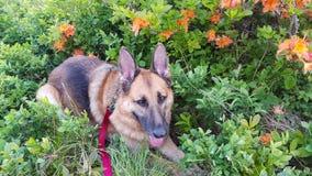 Niemiecka Pasterskiego psa Dereszowata góra NC Zdjęcie Royalty Free