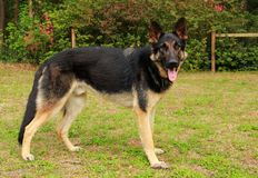 Niemiecka Pasterskiego psa pozycja Fotografia Royalty Free